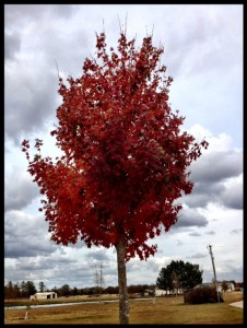 OctoberGloryMaple