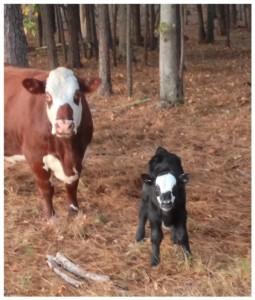 cows markings
